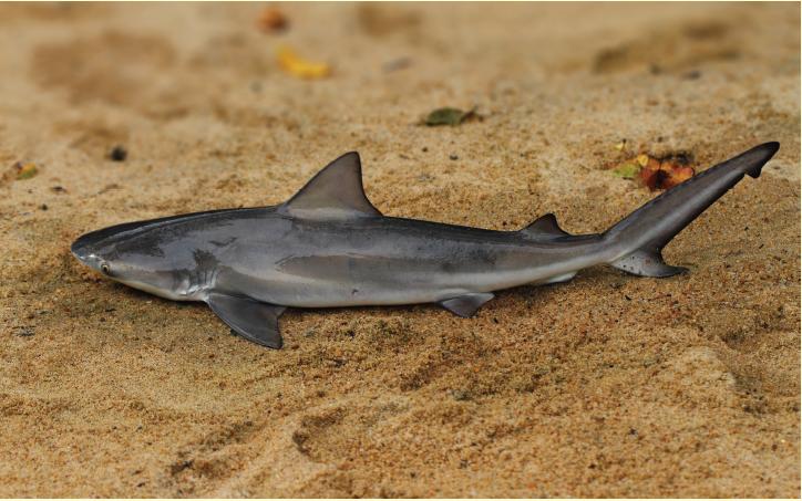 Pondichery Shark in Menik Ganga (c) Wildlife Conservation