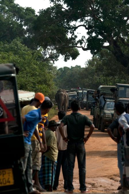Elephant under siege by jeeps at Yala Block-I (c) Vimukthi Weeratunga