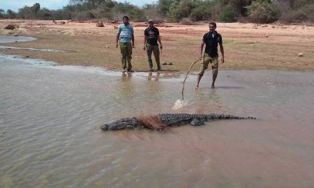 Releasing of 9.5 feet croc fallen into a Agri well in Meegahajadura - Hambanthota on 20.Sept