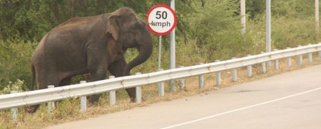 A wild elephant attempting to cross the iron barrier along a main motorway in Hambantota (c) Rahul Samantha