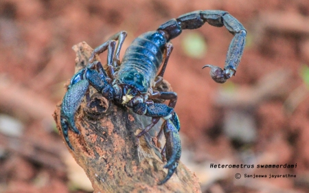 Heterometrus swammerdami - One of the common scorpion in Sri Lanka. Can grow upto 9 inches