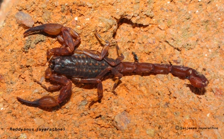 New Endemic scorpion - Reddyanus jayarathnei