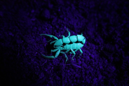 Observing Scorpions Under UV light at night - they are brightly illuminate at the UV light
