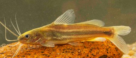 New Catfish Mystus nanus