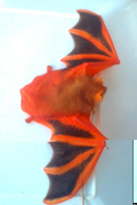 Painted bat hit on vehicle Kanthale - Trinco stretch in 2011 (c) 2 Devsiri Peiris