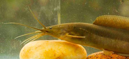 Walking catfish (මගුරා) Clarias brachysoma