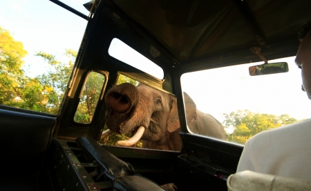 Close encounter: Gemunu looking for food inside a jeep in 2013 - A thrilling, but scary view from inside Pic by Riaz Carder