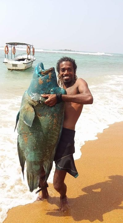 Large Hump-head Wrasse speared in Unawatuna