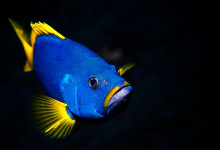 Blue and Yellow Grouper