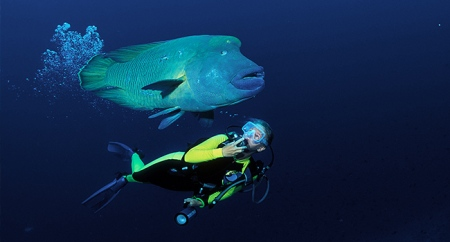 A diver swimming with a gentle giant Hump-head wrasse (c) www2.padi.com