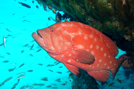 Tomato Grouper - threatened by spearfishing